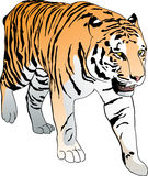 Tiger. Standing Bengal tiger. Hand drawn  illustration Stock Image
