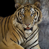 Tiger. Portrait of bengal tiger, Thailand. afternoon light, canon 5D Mark II Royalty Free Stock Photos
