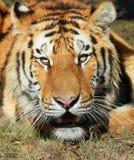 Tiger Royalty Free Stock Image