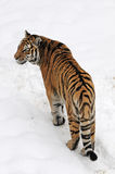 Tiger. Siberian Tiger walking on snow Stock Photo