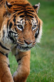 Tiger. Walking to camera in landscape Royalty Free Stock Image