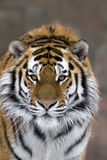 Tiger. Siberian (Amur) tiger. Portrait by the closeup Stock Image