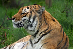 Tiger. Side on view of a tiger Royalty Free Stock Photo