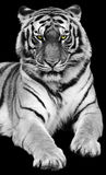 Tiger. A isolated tiger is staring front in black background stock photo