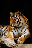 Tiger. Beauty orange striped tiger. close-up royalty free stock images