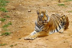 Tiger. A tiger is having short rest Royalty Free Stock Photo
