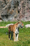 Tiger. A large striped tiger in a summer setting stock photography