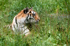 Tiger. A large striped tiger in a summer setting stock images