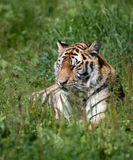 Tiger. A large striped tiger in a summer setting stock photo