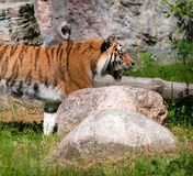Tiger. A large striped tiger in a summer setting royalty free stock images