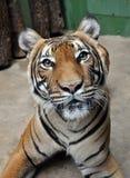 Tiger. Nice sweet tiger in prague zoo Royalty Free Stock Image