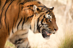Free Tiger Stock Photos - 15743323