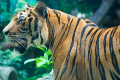 Tiger. Big tiger is standing and looking Royalty Free Stock Photos