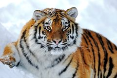 Tiger. Lying on the white snow Stock Image