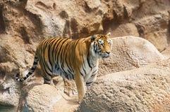 Tiger Royalty Free Stock Photos