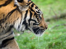 Free Tiger Stock Photography - 16648382
