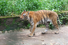 Tiger. Asian tiger walking in zoological park Stock Photos