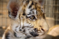 Cute little tiger cub. Photo of a tiger close up Stock Photo