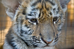 Cute little tiger cub. Photo of a tiger close up Royalty Free Stock Image