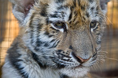 Small tiger. Photo of a small tiger close up Royalty Free Stock Photography
