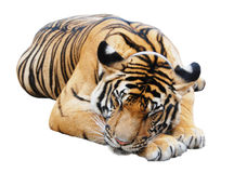 A tiger Stock Image