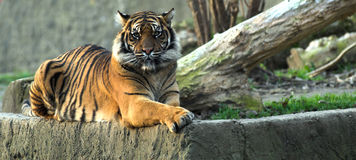 Tiger. Bengal tiger laying on a rock and looking straight to the camera Stock Photo