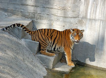 Tiger. Playing in stair near water in the zoo Royalty Free Stock Photography