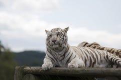 Tiger. White tiger in a safari park stock photography