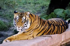 Tiger. Relaxed tiger looking at camera. Film scan Stock Photography