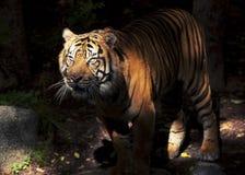 tiger Στοκ Εικόνα