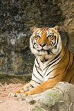 Tiger. Crouching Tiger in the open zoo Stock Images