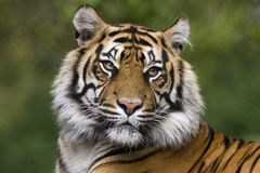 Free Tiger Royalty Free Stock Photos - 19564358