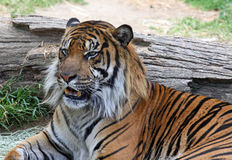 Tiger. Male Siberian Tiger Sitting Near Log Royalty Free Stock Images