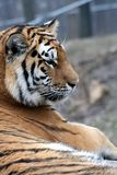 tiger 2 Royaltyfria Bilder