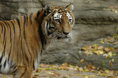 Tiger 2. A portrait of a Siberian tiger Royalty Free Stock Image