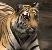 Tiger 2 Royalty Free Stock Photography