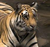 tiger 2 Royaltyfri Fotografi