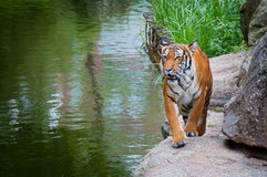 Tiger. A tiger walking next to the river Royalty Free Stock Image