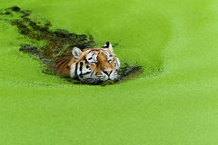 Tiger. Swimming in water with a lot of algae Royalty Free Stock Photography