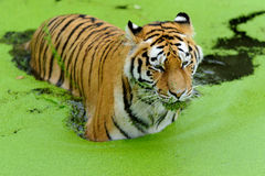 Tiger. In water with algae in Stock Image