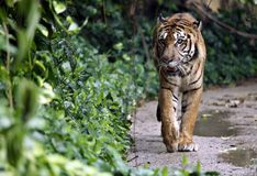 Tiger. A tiger walking in natural habitat royalty free stock photo
