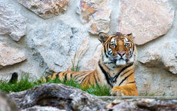 Tiger. Resting against a rocky background Stock Images