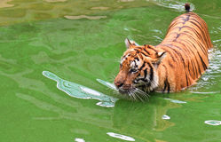 Tiger. Bengal tiger in the water Royalty Free Stock Images