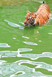Tiger. Bengal tiger in the water Royalty Free Stock Image