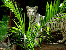Tiger. White tiger hiding: a very large solitary cat with a yellow-brown coat striped with black, native to the forests of Asia stock images