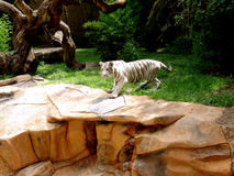 Tiger. White Tiger:a very large solitary cat with a yellow-brown coat striped with black, native to the forests of Asia Royalty Free Stock Image