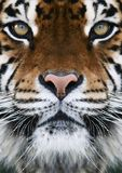 A tiger royalty free stock photos