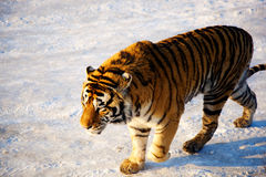 Tiger. A tiger walking in the snow Stock Image