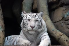 Tiger. The white tiger in the zoo Royalty Free Stock Photo