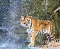 Free Tiger Royalty Free Stock Image - 22534506